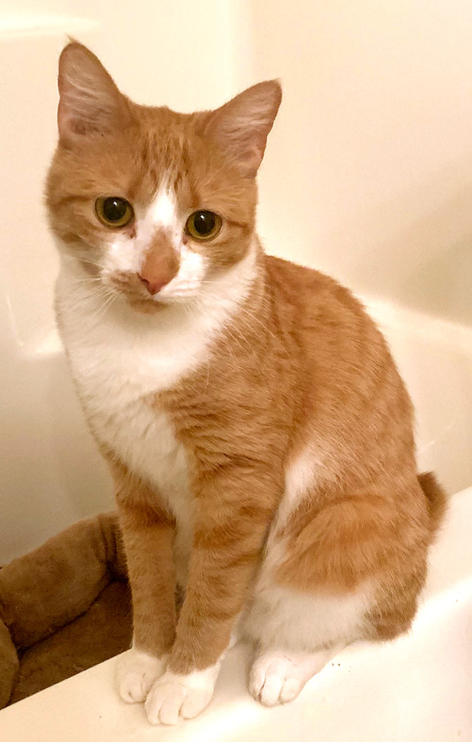 One-year-old female cat